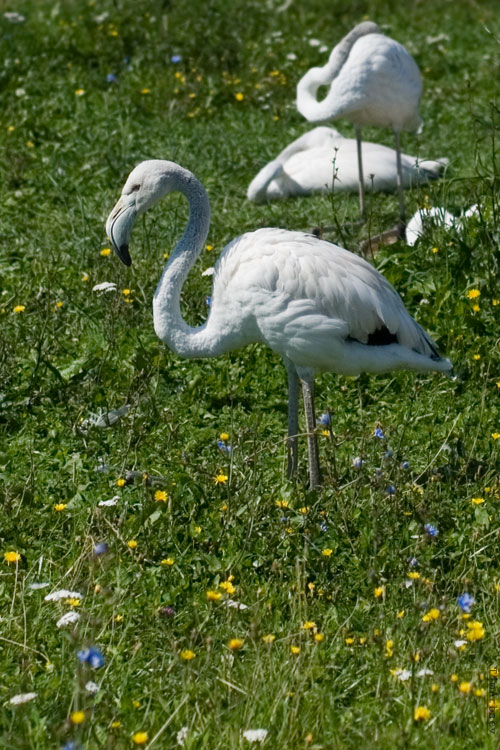 Фламинги