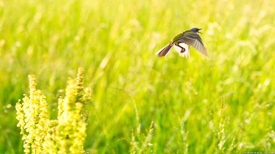 Птичка жёлтая